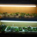 Фиалки под люминесцентной лампой